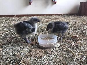 Australorp chicks, Pekin bantam chicks Morpeth Maitland Area Preview