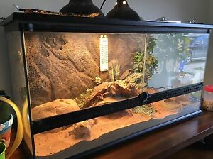 Bearded Dragon with full enclosure and accessories  Kingston Kingston Area image 3