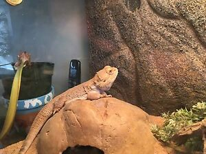 Bearded Dragon with full enclosure and accessories  Kingston Kingston Area image 4