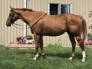 7 year old thoroughbred gelding