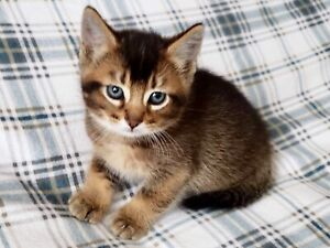 Chatons abyssins X domestique