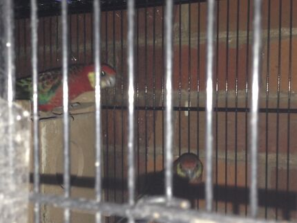 Rosella - breeding pair with or without cage Northbridge Perth City Preview