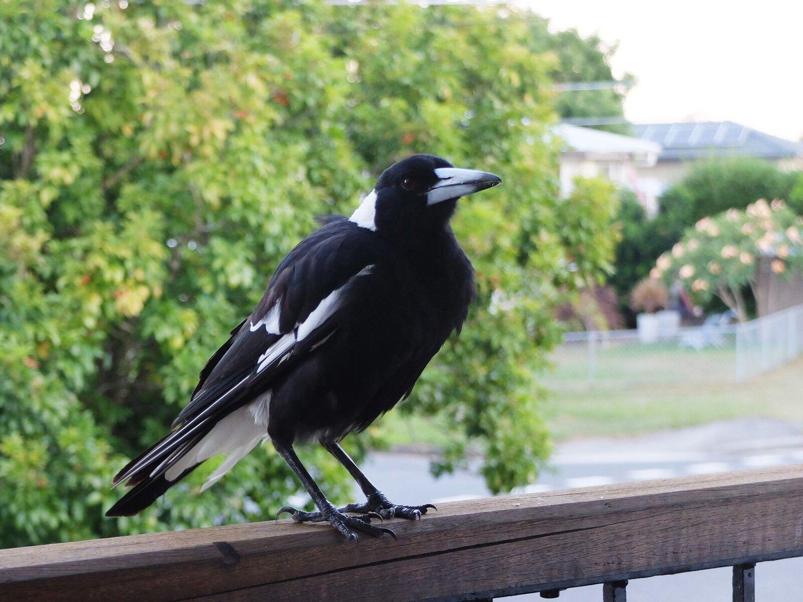 Magpie Music Australia