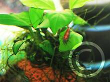 Red cherry shrimp for sale UP TO $1 EACH ! Beverly Hills Hurstville Area Preview