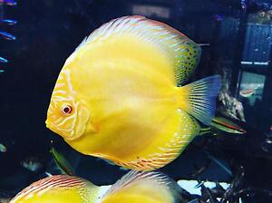Forest Albino yellow mellinium and golden pigeons discus Como South Perth Area Preview