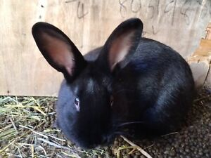 6 month old male bunny