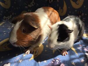 Guinea Pigs pair for sale - FEMALES Hilton Fremantle Area Preview