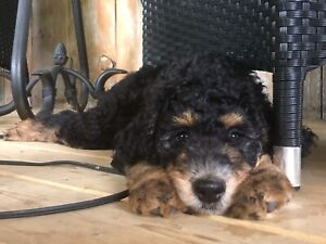 Goldendoodle | Adopt Dogs & Puppies Locally in Ontario | Kijiji