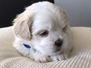 Shih Tzu X Lhasa Apso Puppies For Sale Dogs Puppies Gumtree