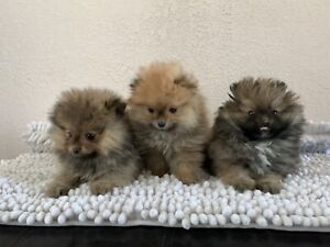 Adorable Pomeranians looking for Great Homes