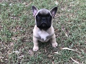 ANKC registered French Bulldog Male