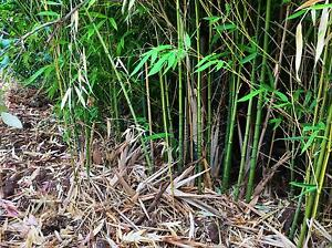 Lots of bamboo Norwood Norwood Area Preview