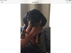 Pure breed smooth short haired miniature Dachshund puppy's