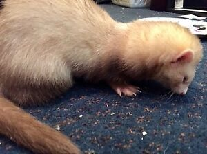 Friendly, bonded baby ferrets for sale