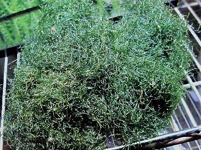 Live Macro Algae, Chaetomorpha, Chaeto, Spaghetti algae, Macro Algae