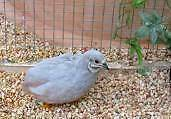 Silver king quails for sale Padbury Joondalup Area Preview