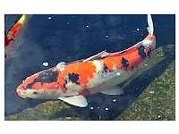 "Japanese Koi Carp 20"" 4 yrs old"