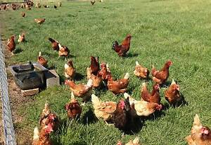 Eggs Farm Fresh Free Range Botany Botany Bay Area Preview