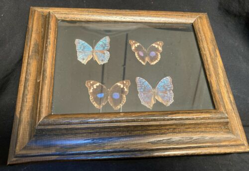 4 Real Framed South American Butterflies Preices Radama