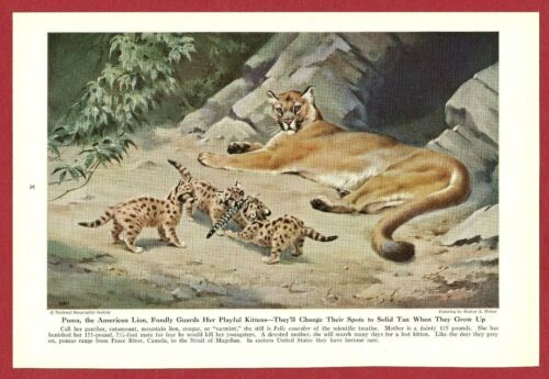 "1943 Wild Cat Print Illustration ~ PUMA by Walter Weber ~ The ""American Lion"";"