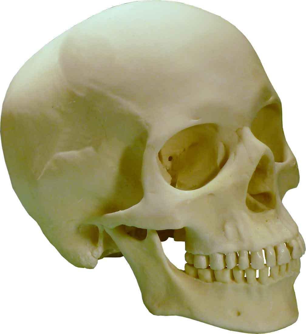 формы норм черепа человека фото полвека