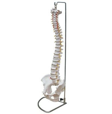 Anatomical Human Spine Life Size Flexible Chiropractic Anatomy Model Wstand New