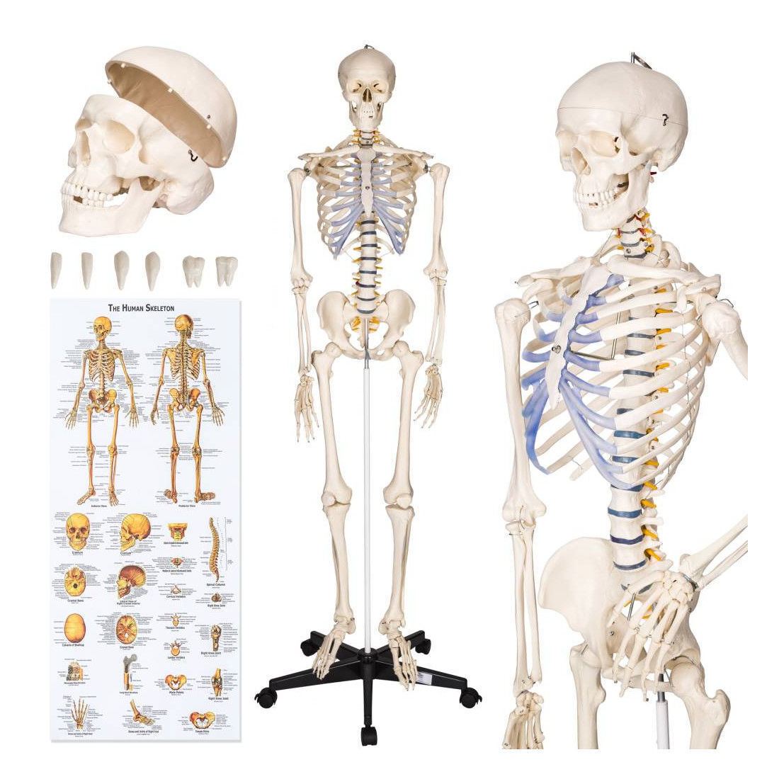 tectake human skeleton anatomical model life size 181cm ebay