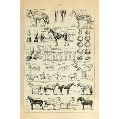 Vintage Poster Print Horse Prad Breeds Anatomy Educational Science Wall Decor - Science Decor