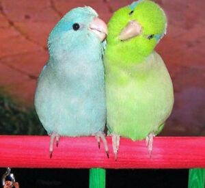 4 year old tame parrotlets