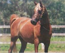 ARAB b/mare Purebred ARABIAN  to RIDE or BREED with Reg Papers Strathalbyn Alexandrina Area Preview