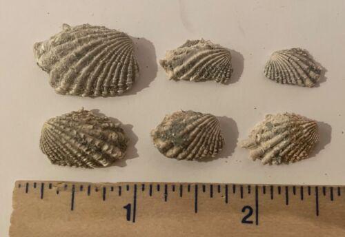France Fossil Bivalves Cardita hypopea Miocene Megalodon Age