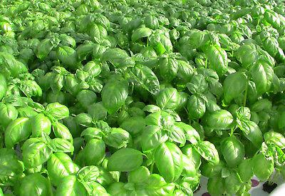 - Sweet Genovese basil  500 seeds Heirloom Herb great for Pesto CombSH H44