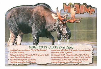 Maine Moose Diecut Vintage 4 x 6 Postcard, Feb17