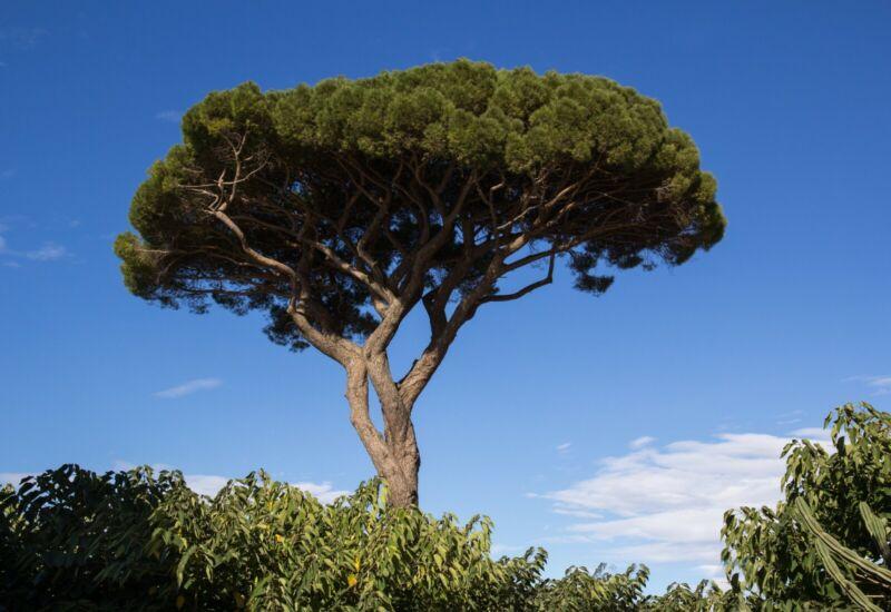 Pinus pinea ** Pino domestico (1 pianta A40-5x6, 5x15)