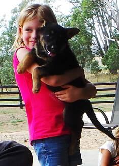 German Shepherd Puppies Glenburn Murrindindi Area Preview