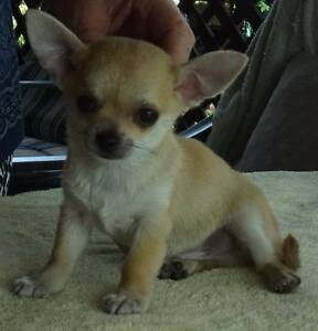 Chihuahua Smoothcoat Male Puppy - Pedigree - Registered Breeder Mackay Mackay City Preview