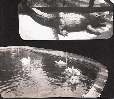 2 VINTAGE 1929 LOS ANGELES CALIFORNIA ZOO ALLIGATOR SWANS PELICAN BIRDS PHOTOS