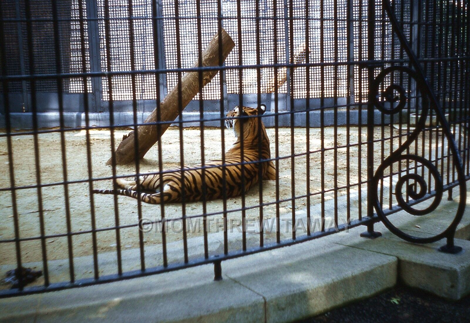 1960 COLOR SLIDE 1129 Washington DC National Zoo Big Cat Tiger in Cage