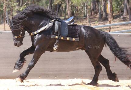 Friesian Stallion Service Brisbane