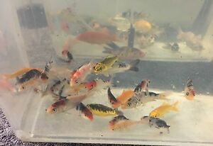 Koi fish from $15 Latham Belconnen Area Preview