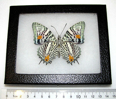 REAL PERUVIAN LEOPARD SPOTTED BAOETUS VERSO FRAMED BUTTERFLY INSECT