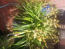Orchid in pot Avondale Heights Moonee Valley Preview