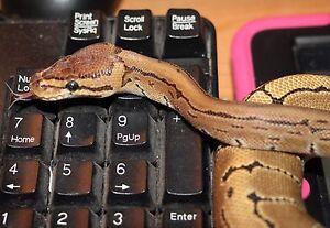 Pin stripe ball python
