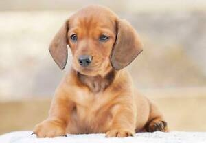Wanted: Wanted: looking for a dachshund puppie