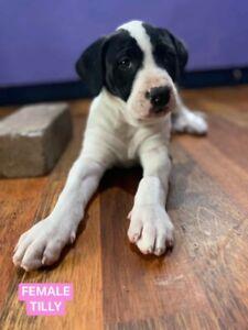 Great Dane X puppies