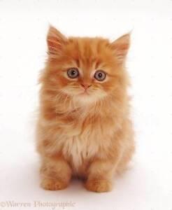 Long haired kitten Gawler Gawler Area Preview