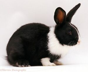 ISO of black and white bunny