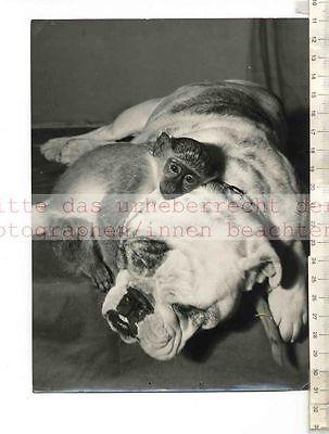 ORIGINAL PRESSEFOTO: 3 MUSKETEERS OF CLAPHAM - DOGS & MONKEYS FOTO: P. STEFFEN