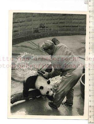 ORIGINAL PRESSEFOTO: 1958 CHI-CHI GIANT PANDA in LONDON ZOO - FOTO: KEYSTONE