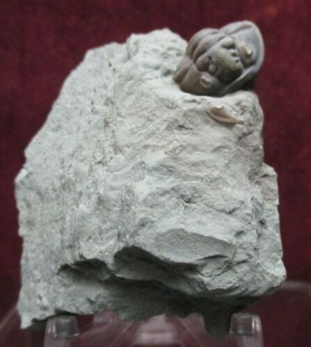 Super Enrolled Flexicalymene meeki Ordovician Fossil Trilobite Mt. Orab Ohio